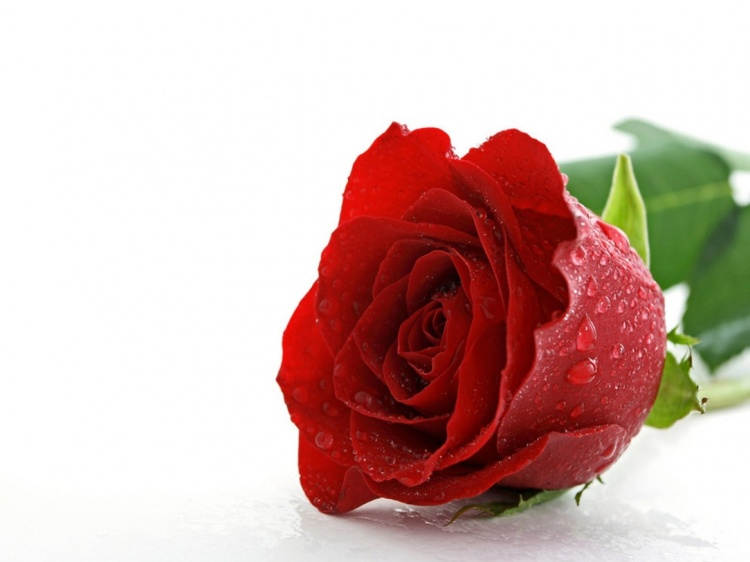 Rosa-roja-3